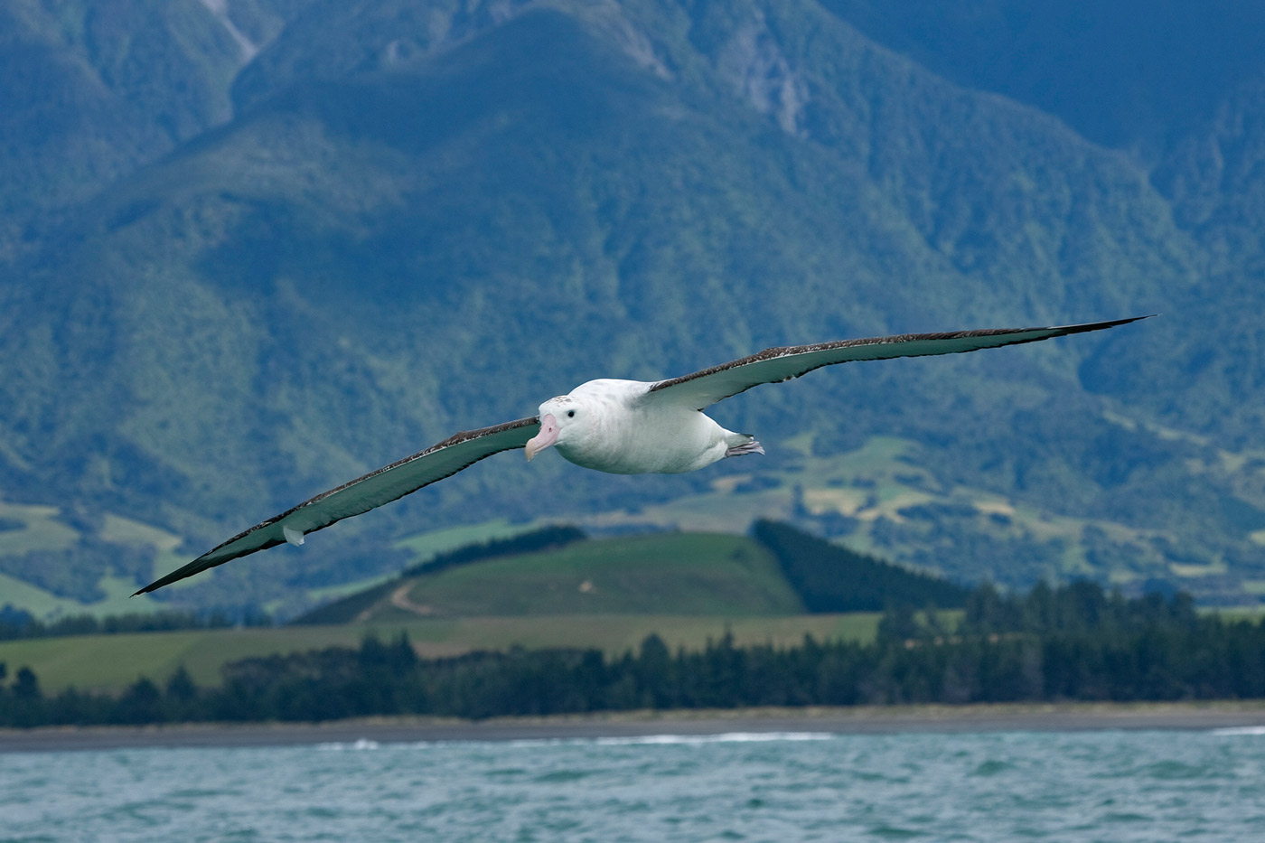 albatros-2