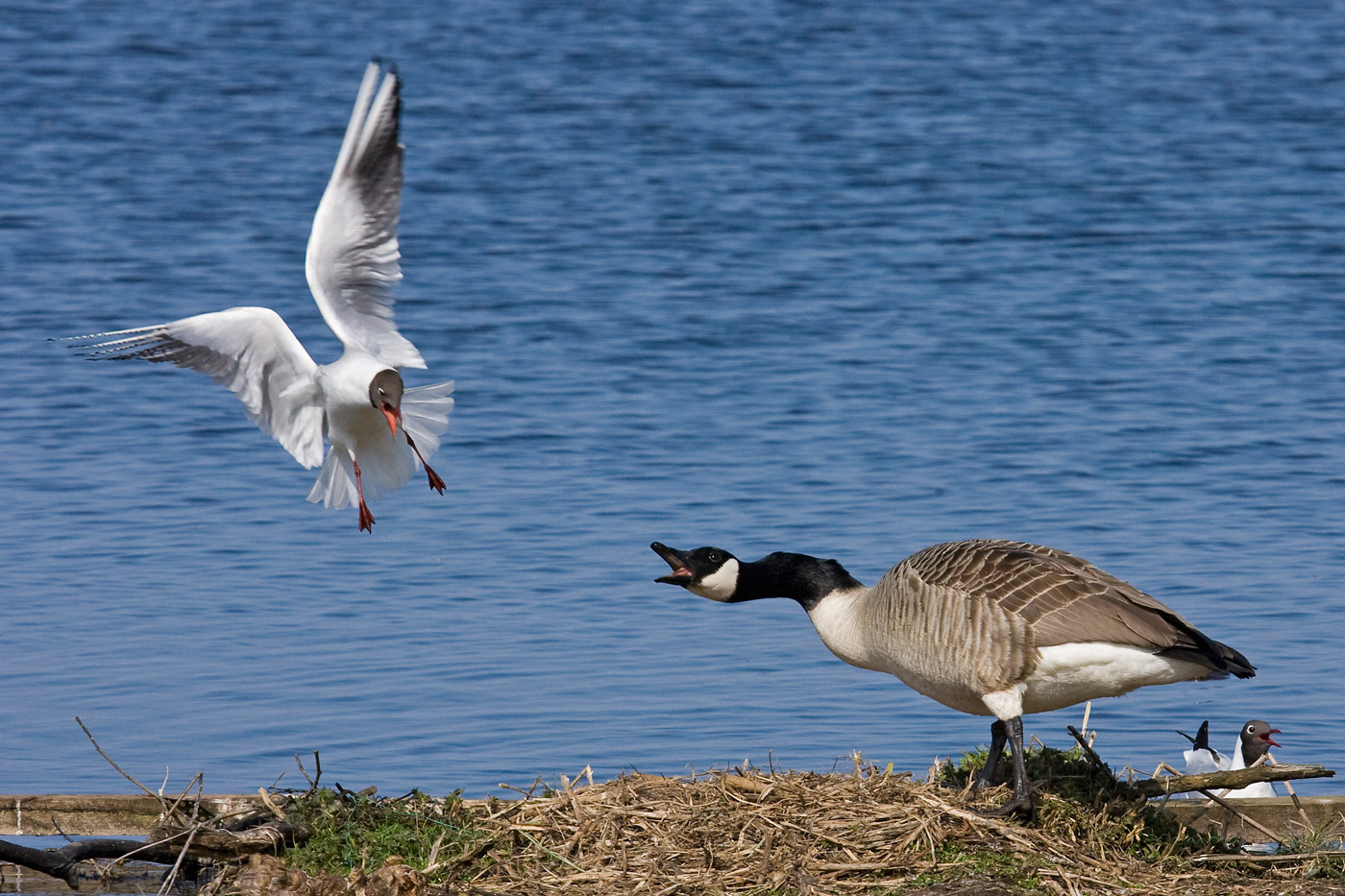 canada-goose-and-black-headed-gull