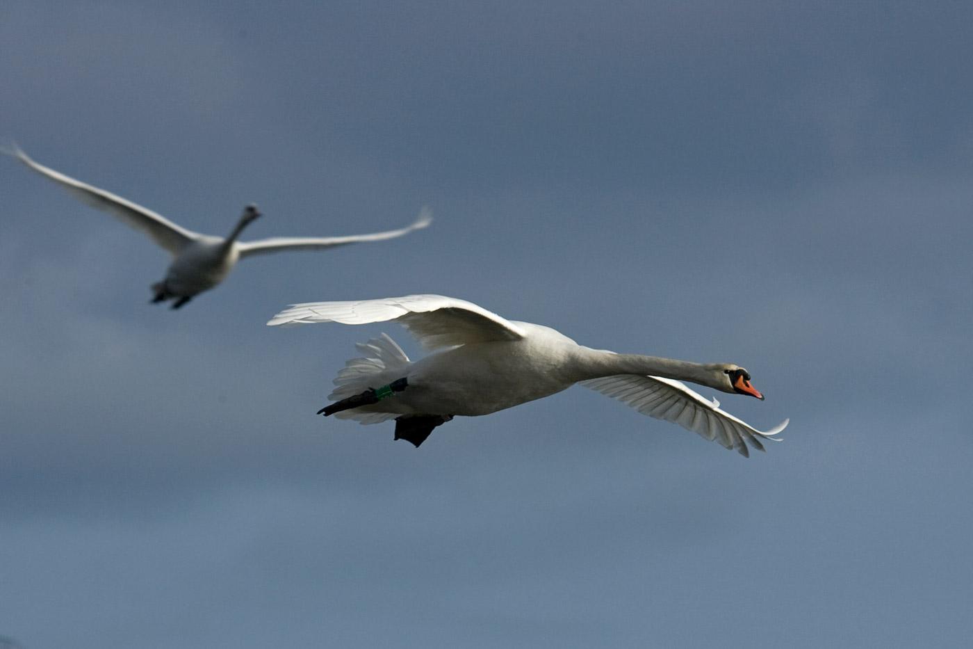 swans-2
