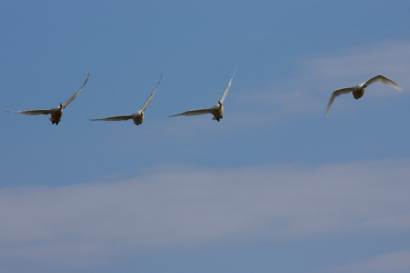 swans-4
