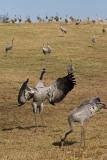 cranes-11