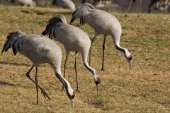 cranes-12
