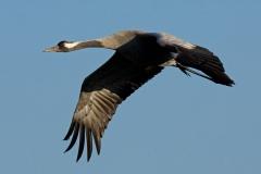 cranes-3