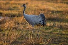 cranes-8_0