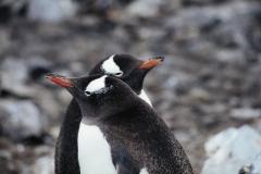gentoo-penguins