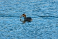 great-crested-grebe-2