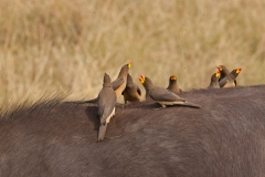 red-billed-oxpeckers