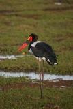 saddle-bill-crane