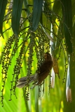 seychelles-black-parrot
