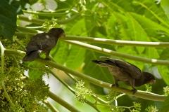 seychelles-black-parrots