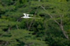 white-tailed-tropicbird