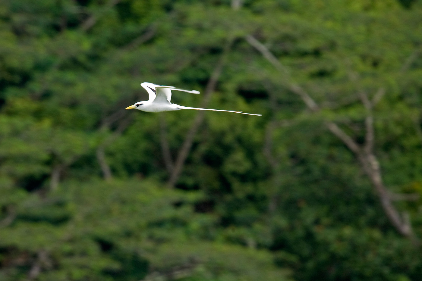 white-tailed-tropicbird