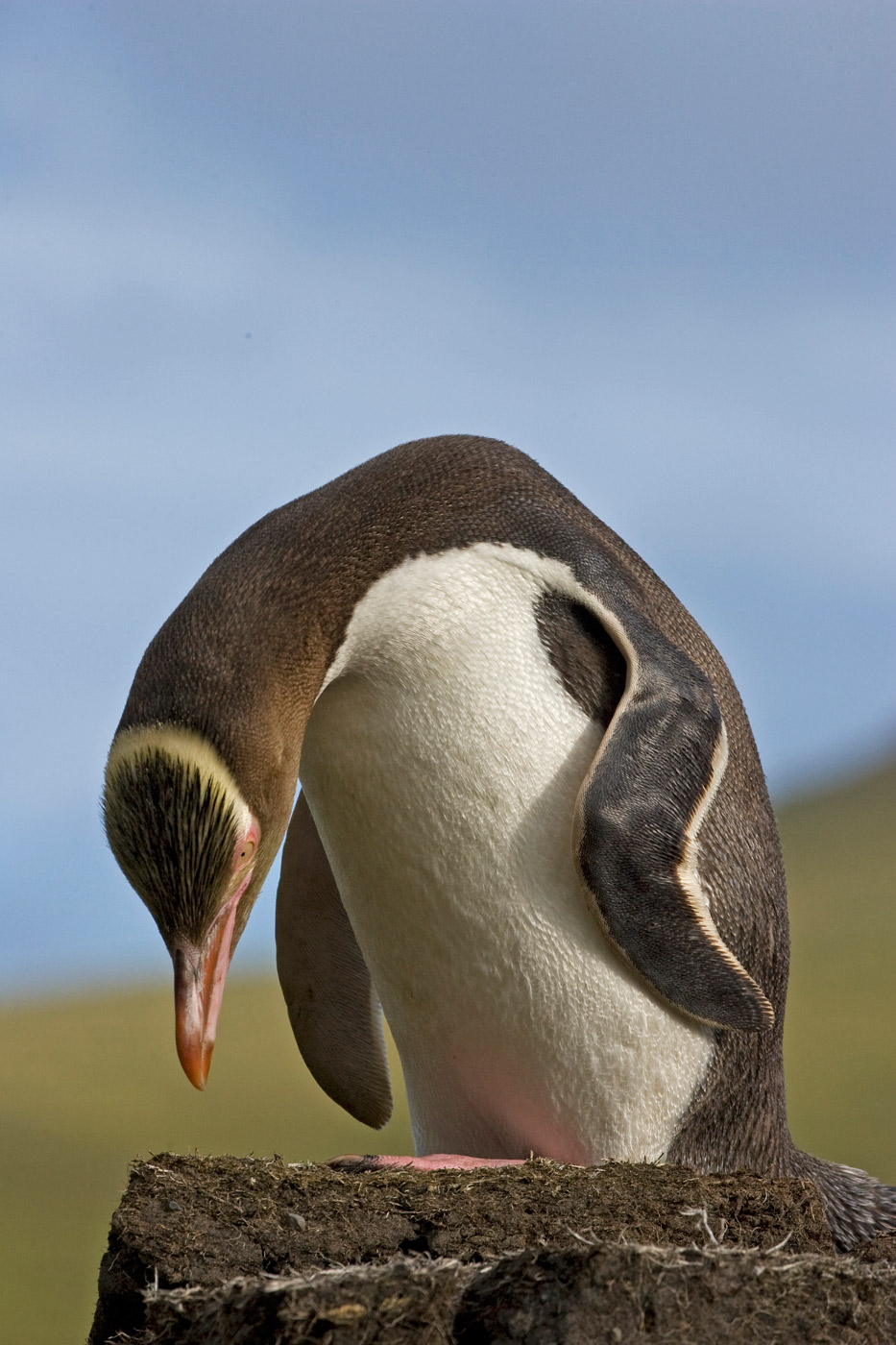 yellow-eyed-penguin