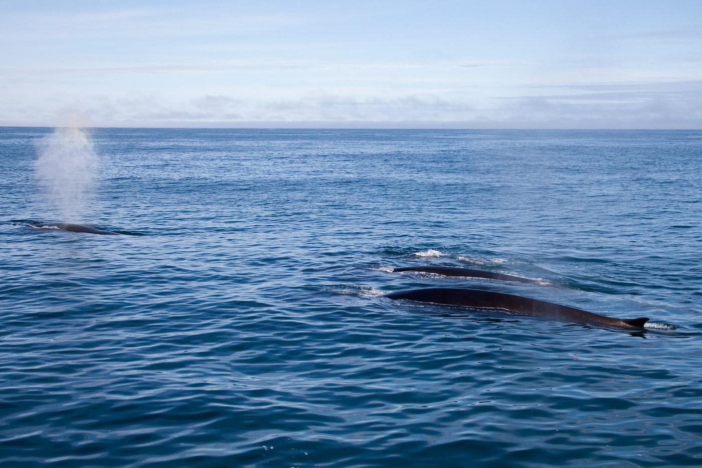 Mink Whales 2