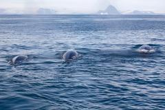 Mink Whales 3