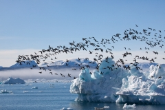 Icebergs around Tiniteqilaq