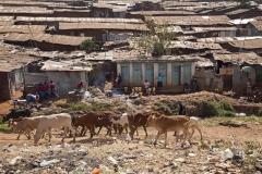 Masai Cows in Kibera