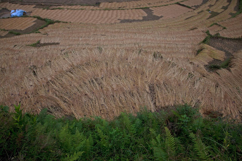 Rice harvest 1