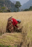 Rice harvest 2