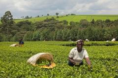 teaplantation-kenya