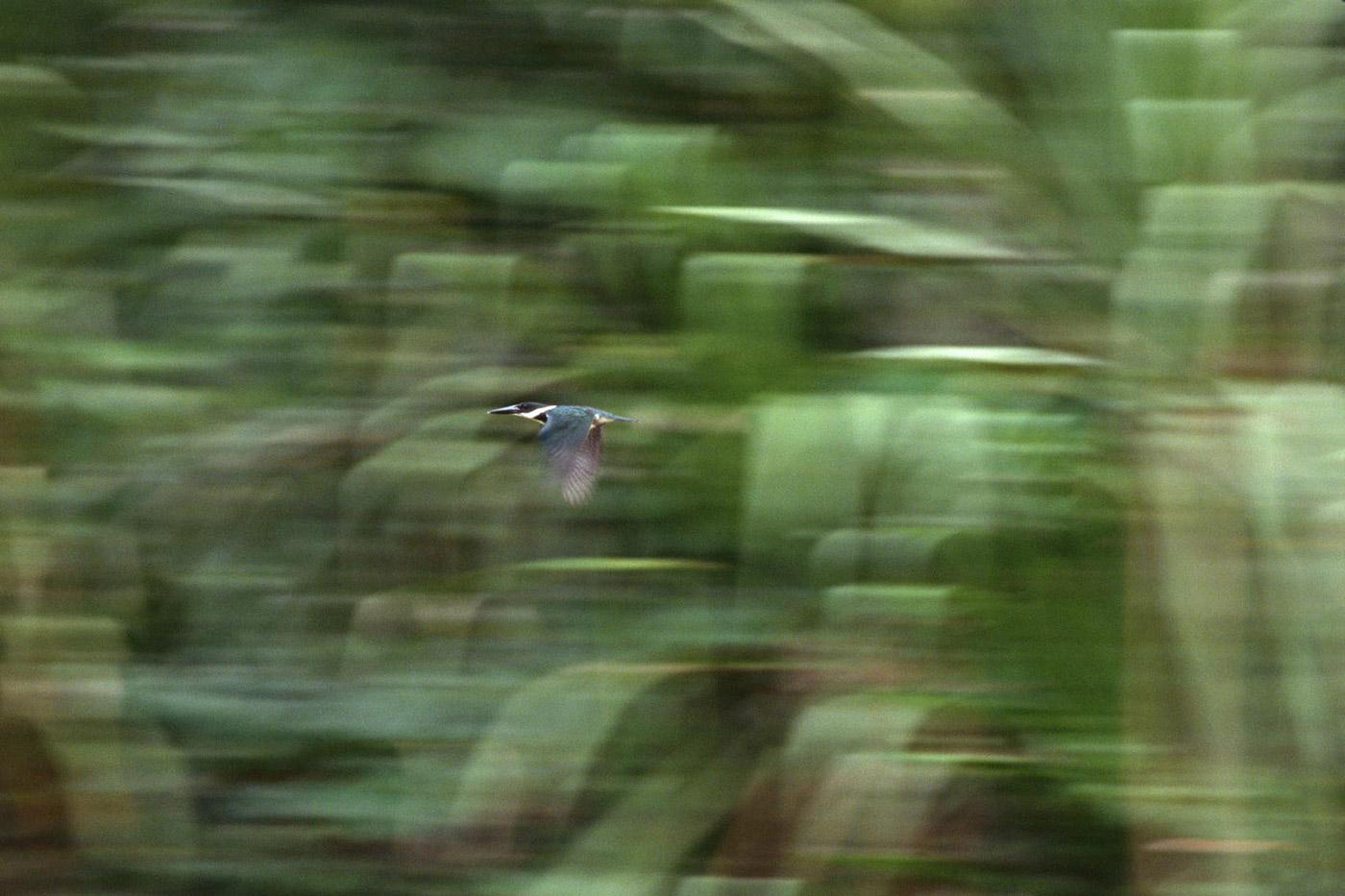 amazonian-kingfisher-1