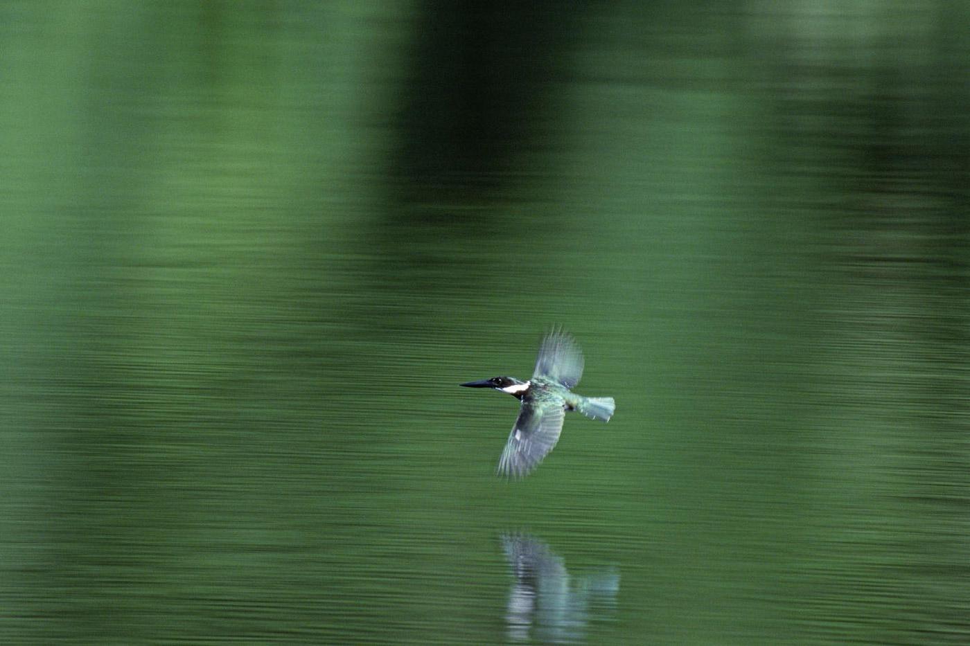 amazonian-kingfisher-2