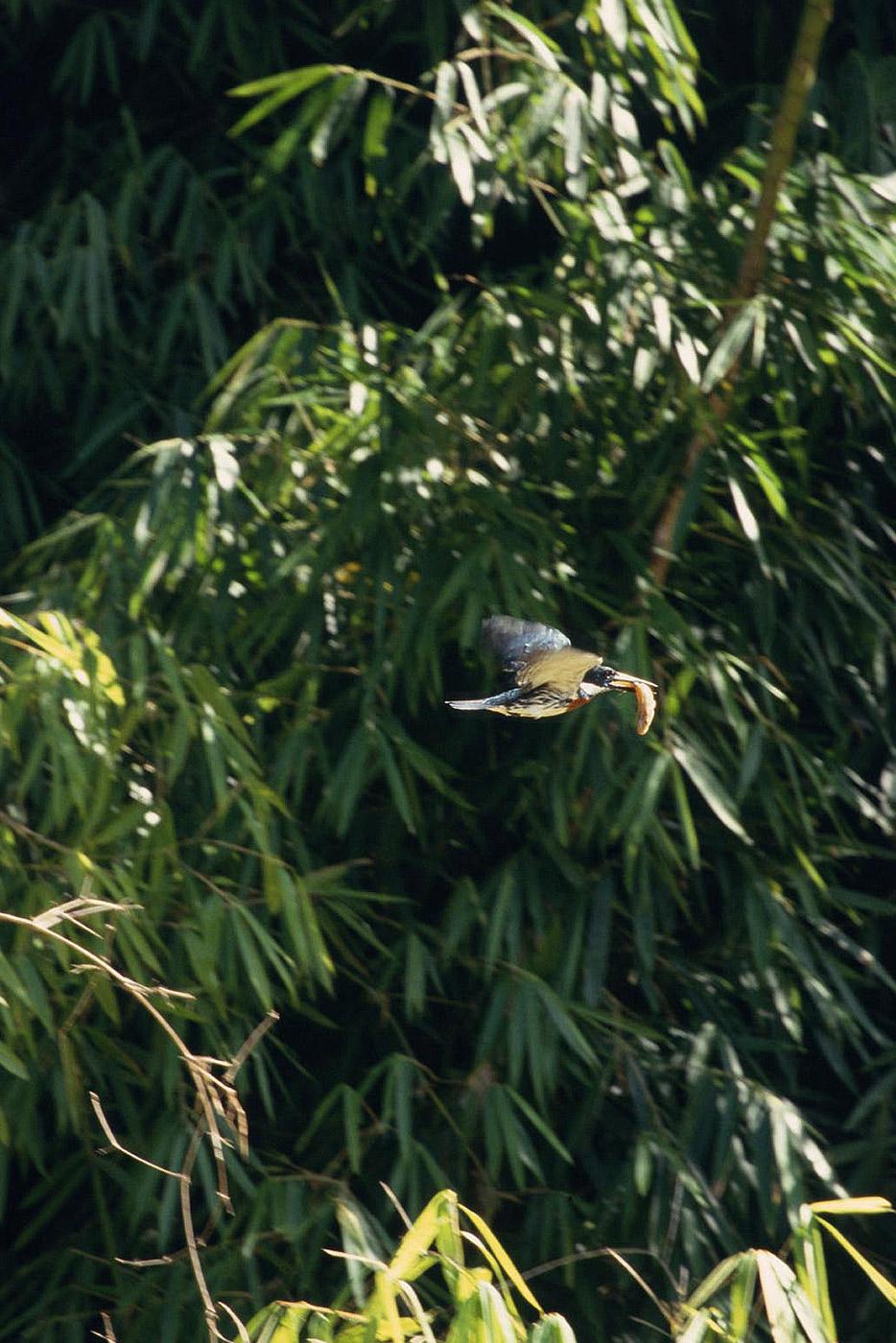 amazonian-kingfisher-3