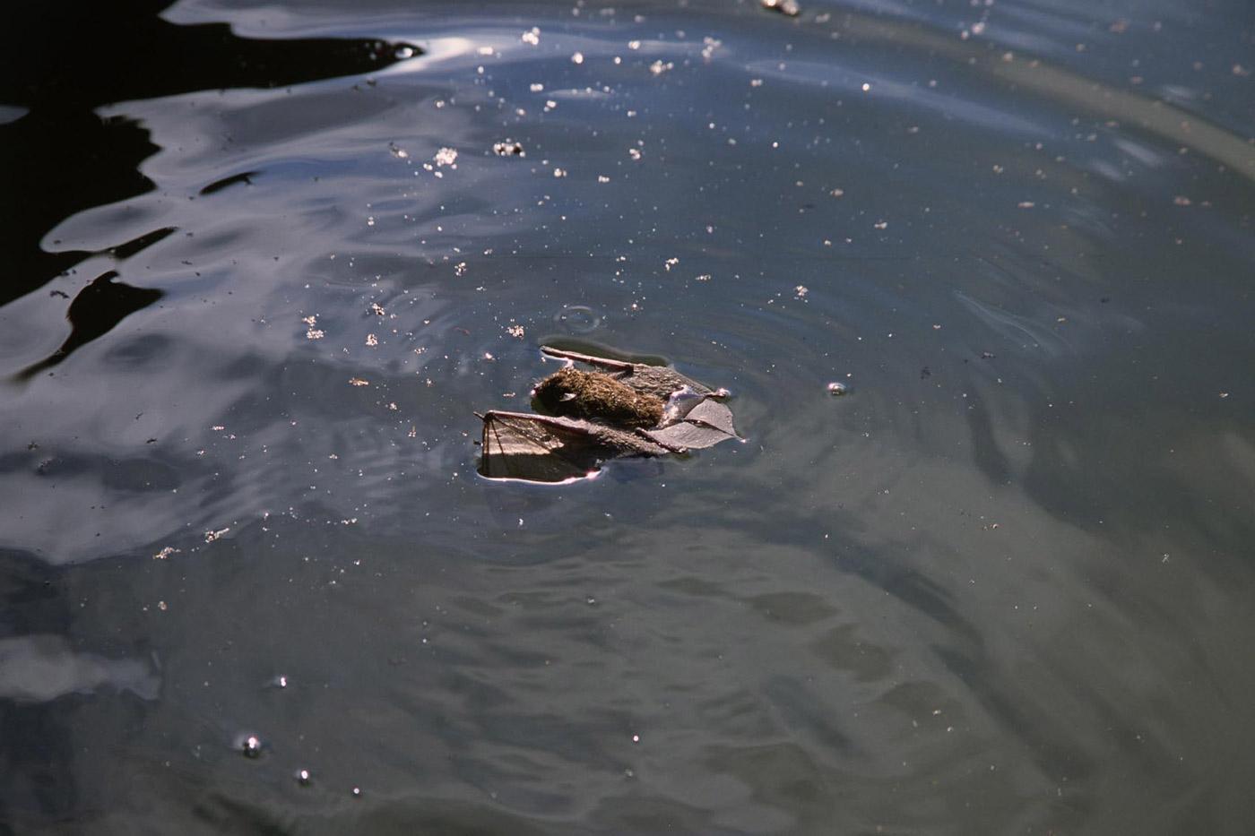 bat-in-a-river-1