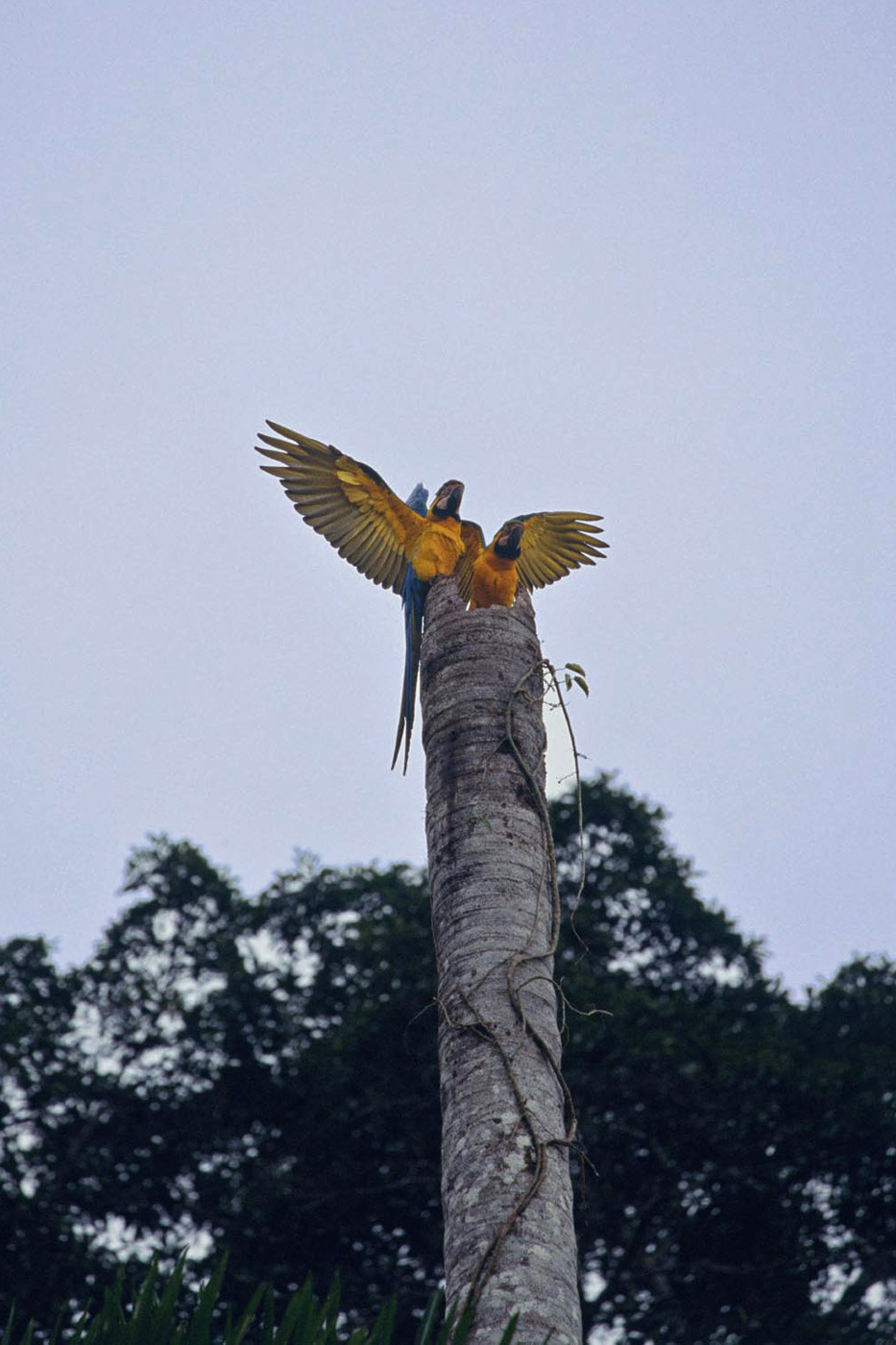 blue-and-yellow-macaws-1