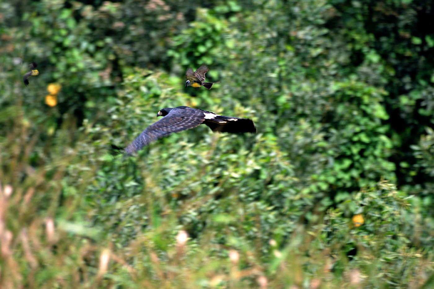 eagle-chased-by-a-tropical-kingbird
