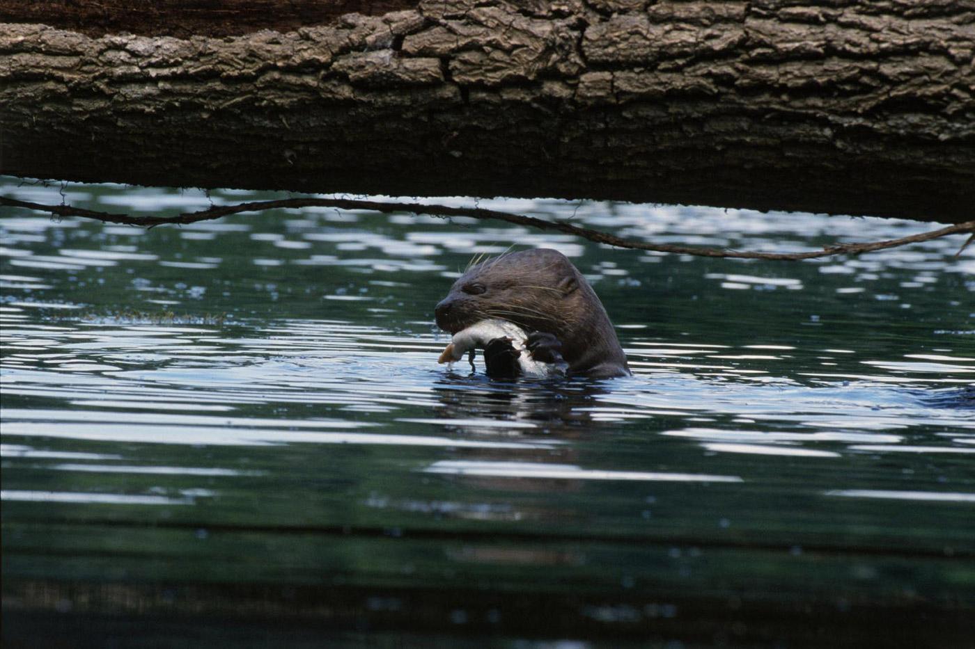 giant-otter-1