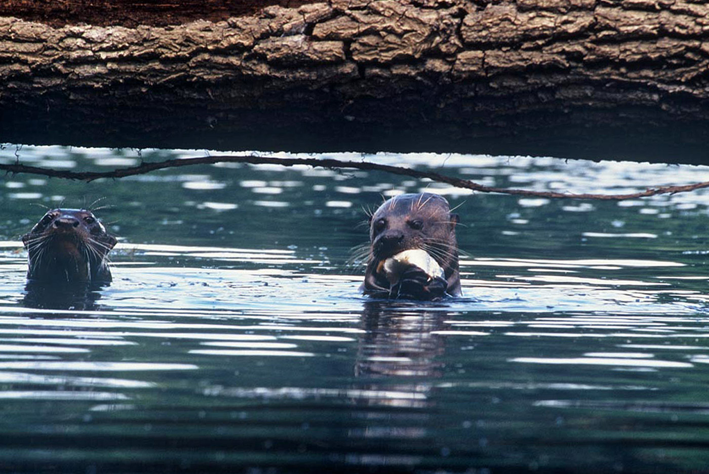 giant-otters-4