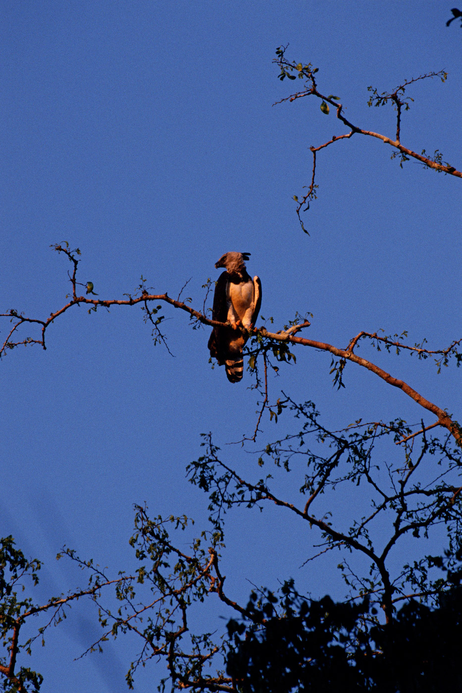 harpy-eagle-1