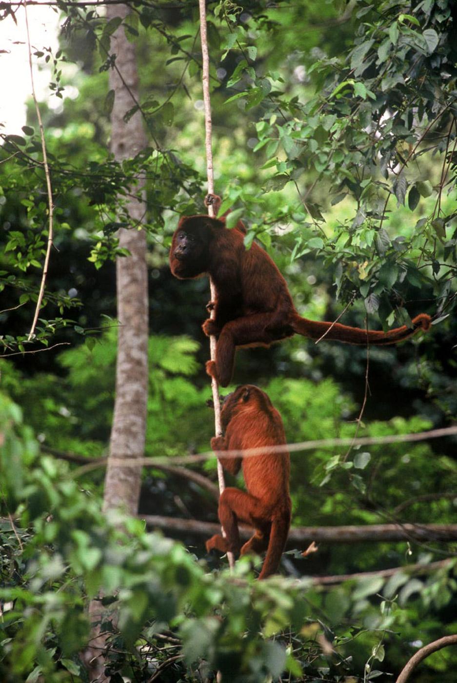 howler-monkeys