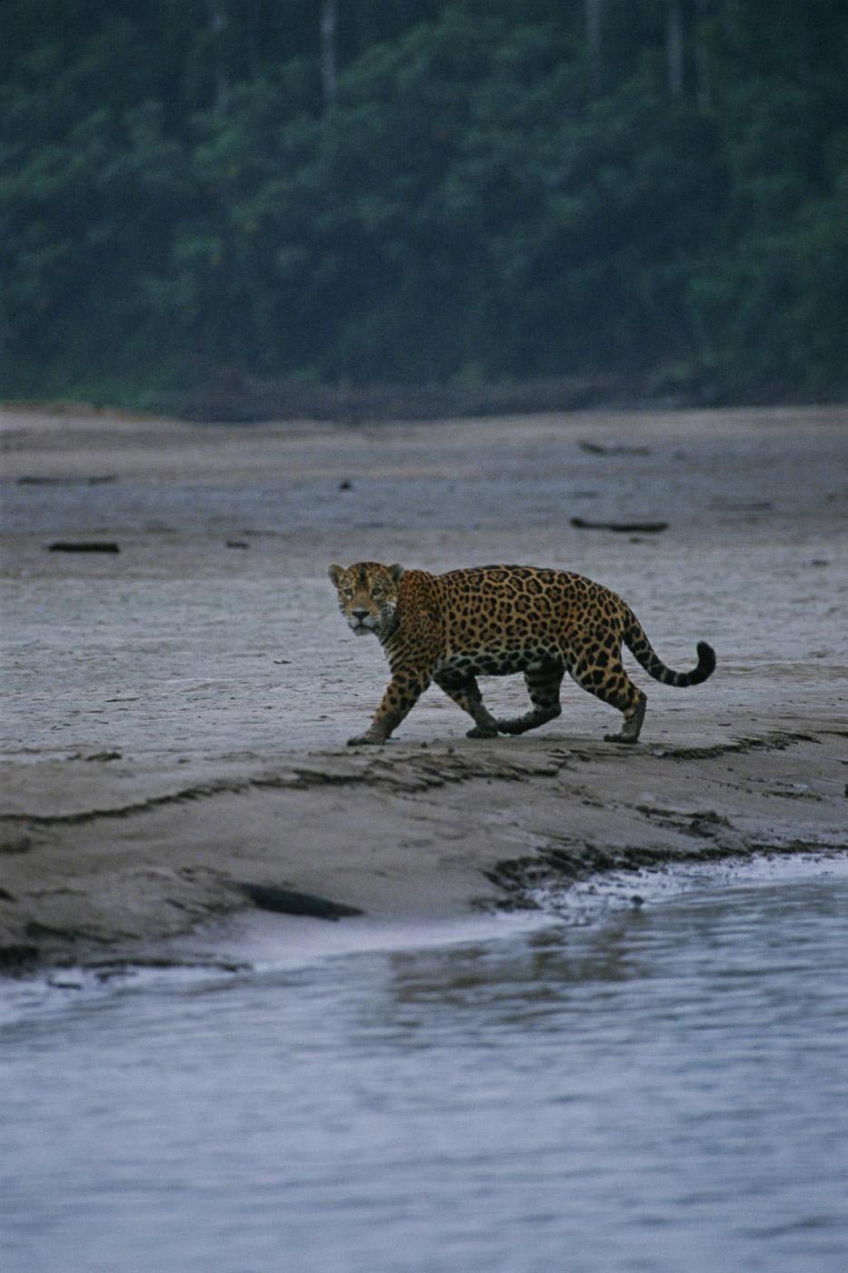 jaguar-2_0