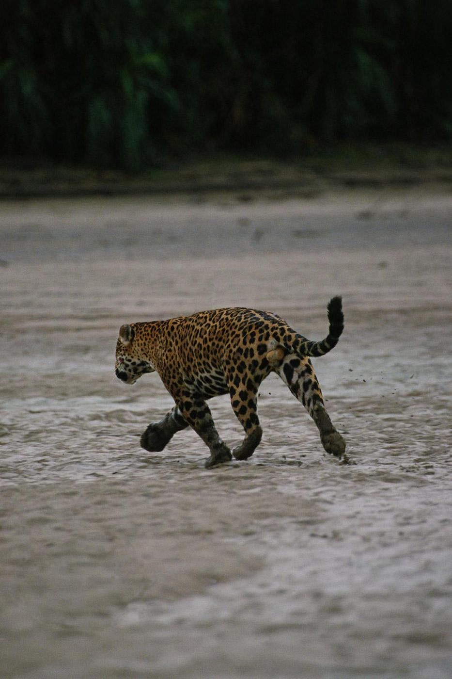 jaguar-3