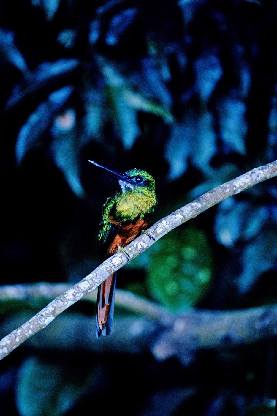 rufus-tailed-jacamar