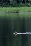 giant-otter-2