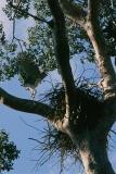 harpy-eagle-2