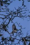 harpy-eagle-3