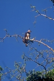 harpy-eagle-4