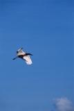 jabiru-stork