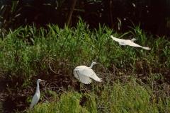 snowy-egrets