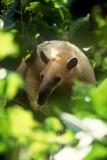 tree-anteater