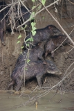 white-lipped-peccaries-2