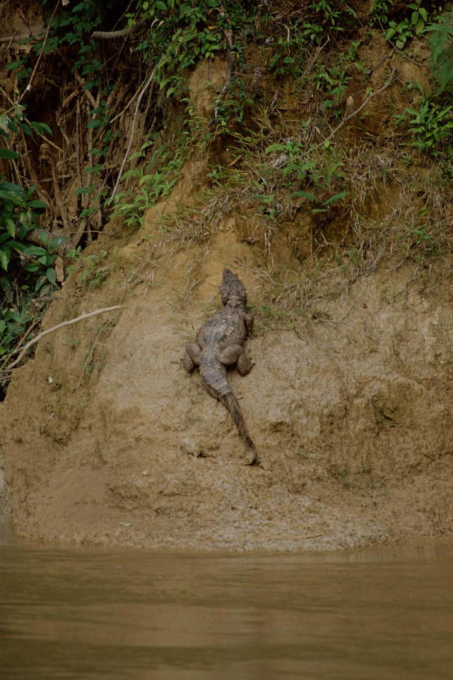 white-caiman