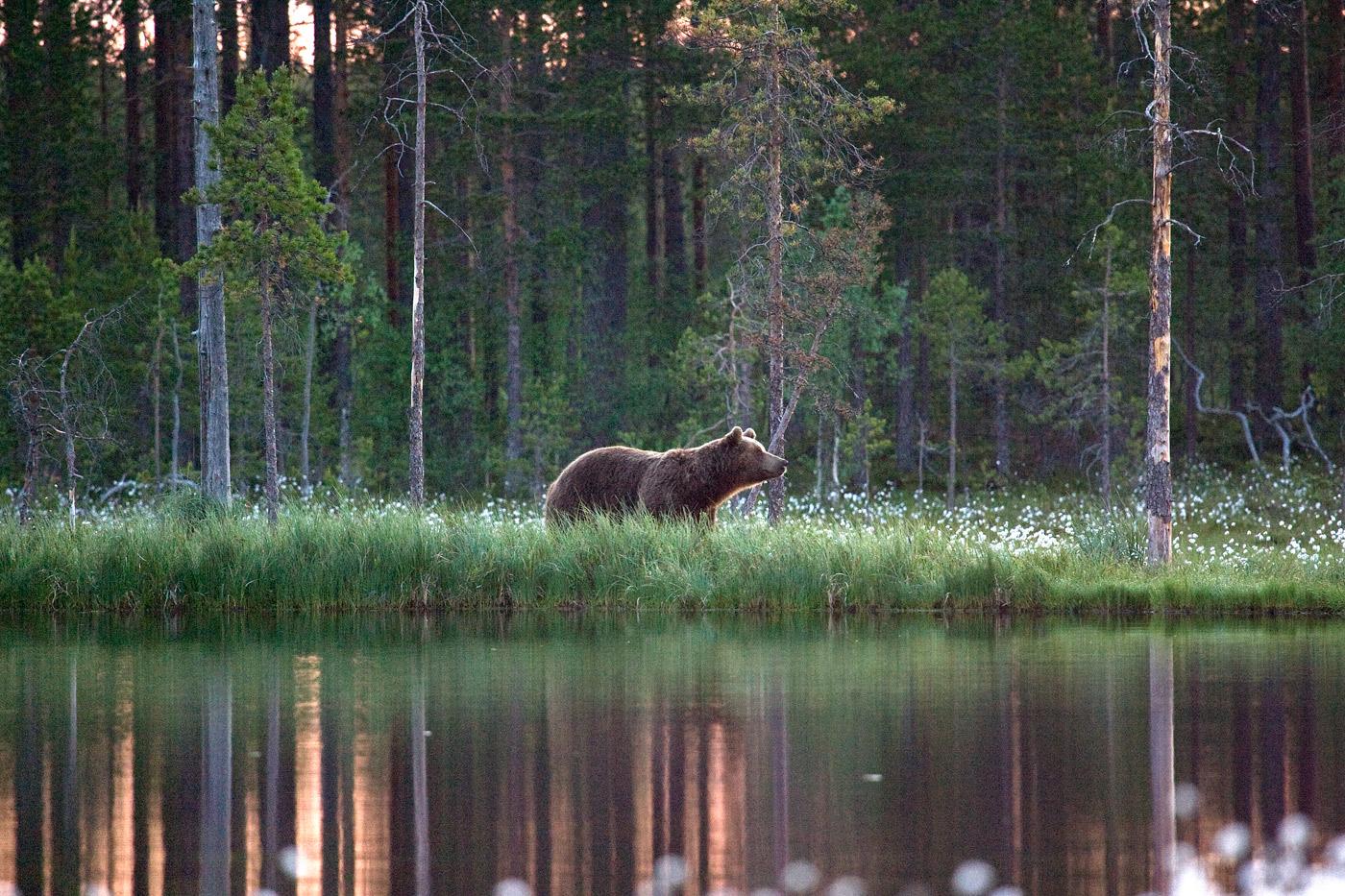 brown-bear-3