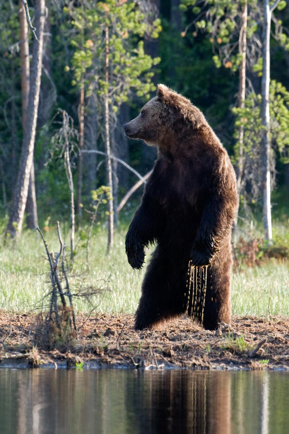 brown-bear-5
