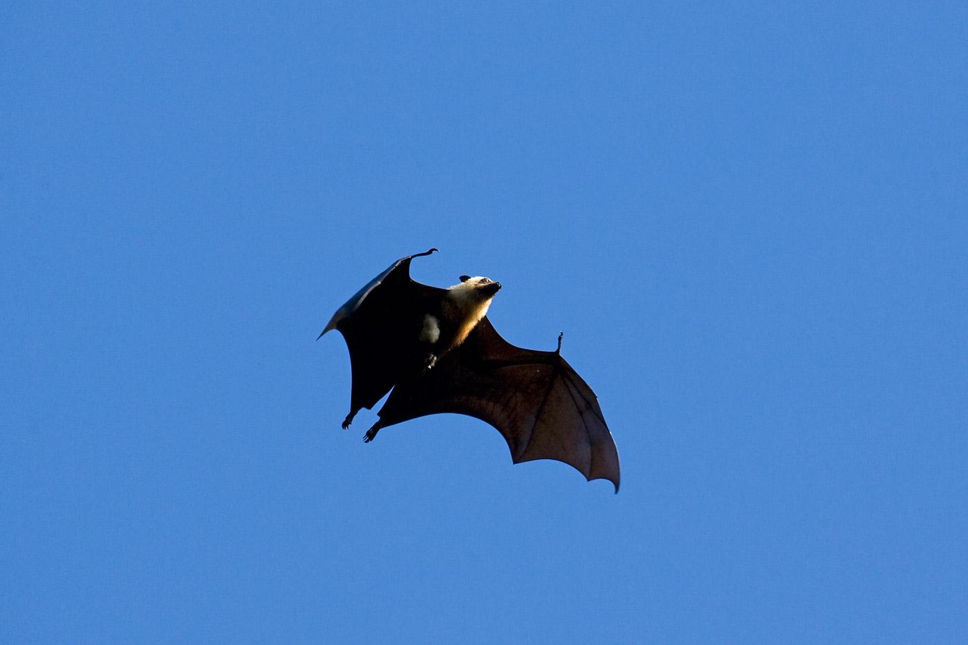 seychelles-fruit-bat