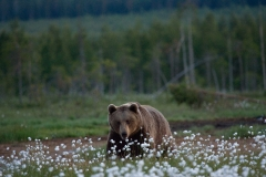 brown-bears-6